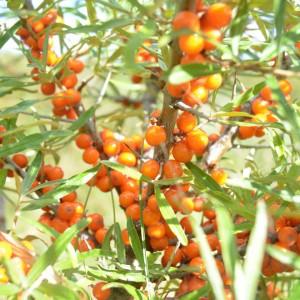 Catina - planta medicinala