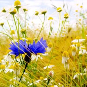 Plante medicinale din Romania