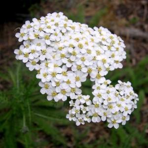 coada soricelului - planta medicinala