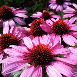 echinaceea - planta medicinala
