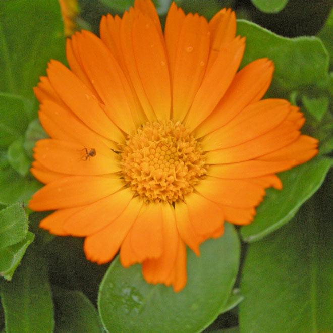 galbenele - planta medicinala