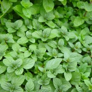 menta - planta medicinala