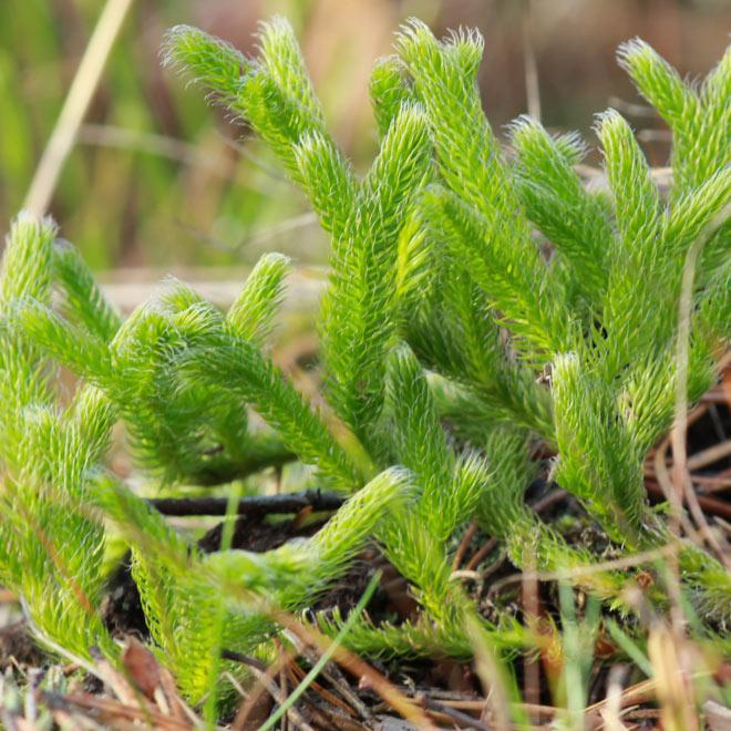 pedicuta - planta medicinala
