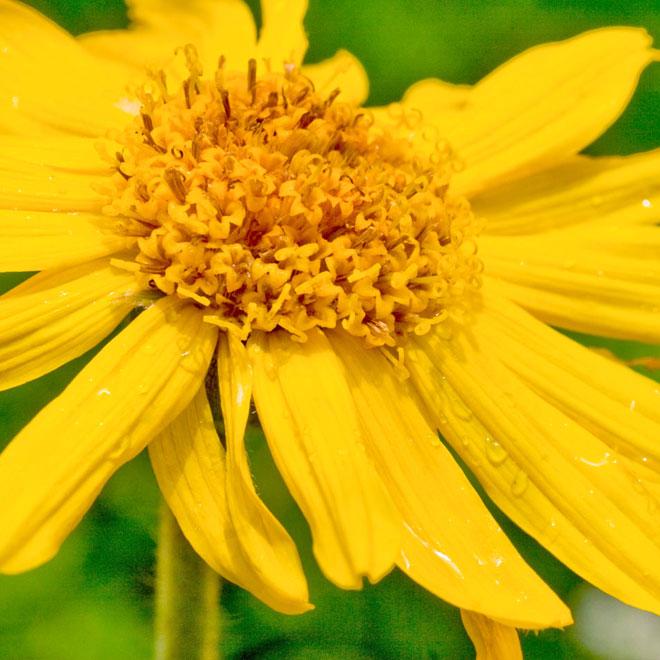 plante medicinale-arnica