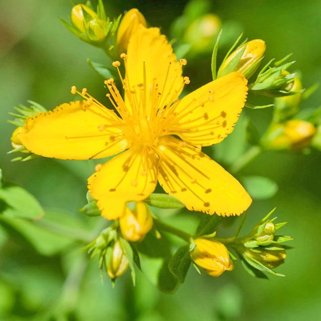 plante medicinale-sunatoarea