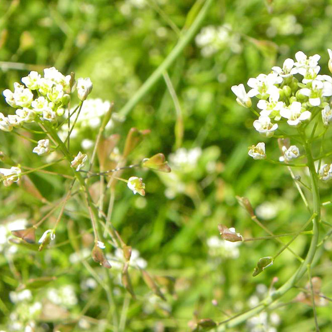 plante medicinale -traista ciobanului