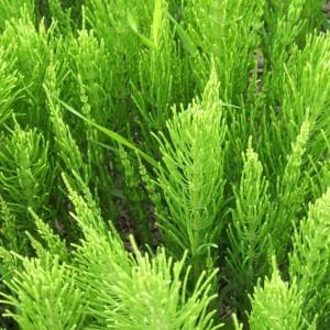 Coada-calului - planta medicinala pentru prostata