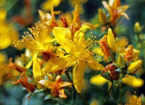 Aceste plante te ajută să scapi de depresia post-partum!