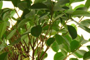 Smochinul poate să crească și în ghiveci